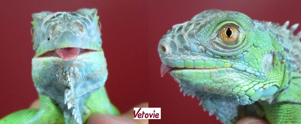 Iguane vert 1 an , ostéodystrophie