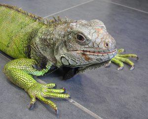 Iguane vert 13 ans